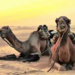 camels-2117221_1920