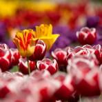 tulips-65305_1920